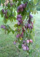 Plum tree (N B) Tags: worcestershire nigel blunt stourbridge
