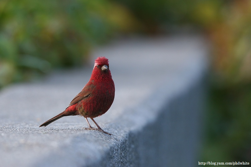 酒紅朱雀, Vinaceous Rosefinch