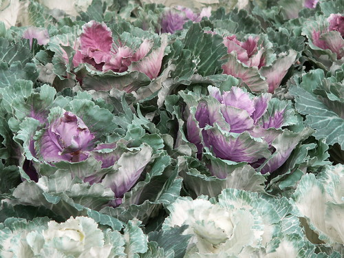 Pastel Cabbages