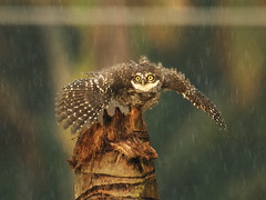 Spotted Owlet in the rain!!!