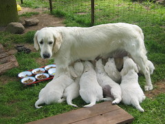 Proud mother (Ingrid0804) Tags: dogs goldenretriever golden puppies retriever potofgold naturesfinest mywinners impressedbeauty diamondclassphotographer flickrdiamond damniwishidtakenthat 100commentgroup goldenretrievermother goldenretrieverfamily
