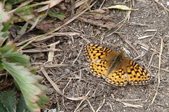 Butterfly (Redwolf Journeys) Tags: mountains butterfly hiking wyoming fritillary grandtetonnationalpark deathcanyon deathcanyontrail
