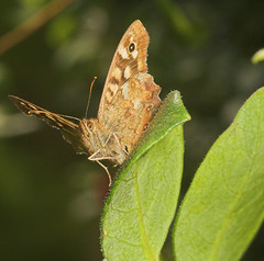 """Speckled Wood Butterfly (Pararge aege(1) • <a style=""""font-size:0.8em;"""" href=""""http://www.flickr.com/photos/57024565@N00/237017182/"""" target=""""_blank"""">View on Flickr</a>"""