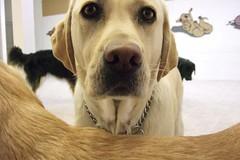 Back Frame (Back in the Pack) Tags: stella dog calgary dogs puppy nose back eyes yellowlab head olive ears mango frame ruby compose dogdaycare wwwdogdaycareca wwwbackinthepackca albertabarks