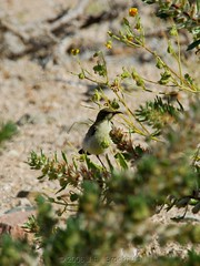 Dusky Sunbird (Makgobokgobo) Tags: africa female southafrica sunbird richtersveld tfca cinnyris transfrontierconservationarea drycluster duskysunbird cinnyrisfuscus richtersveldnationalpark |ai|aisrichtersveldtransfrontierpark