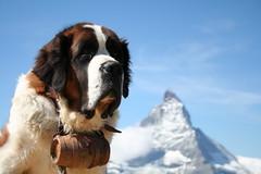 anch'io ne voglio un goccio! (*maya*) Tags: mountains alps cane switzerland gornergrat zermatt matterhorn svizzera alpi montagna sanbernardo cervino