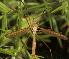 "Cranefly (Tipula oleracea)(3) • <a style=""font-size:0.8em;"" href=""http://www.flickr.com/photos/57024565@N00/239316611/"" target=""_blank"">View on Flickr</a>"