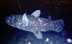 Coelacanth (Arne Kuilman) Tags: indonesia fossil manado ikan coelacanth livingfossil photonotmine oldfourlegs jlbsmith latimeriachalumnae rajalaut ikanrajalaut quastenfloscher loleefin