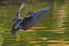 slowing...♫  pacific reef egret *egretta sacra* from bali ♫♫ (bocavermelha-l.b.) Tags: tc20eii pacificreefegret darkmorph 80200mmf28d egrettasacra wildlifephotography demigrettasacra dimorphic garçadosrecifesoriental garzadelosarrecifes inbali pacificreefheron foundinnusadua south–china–sea inindonesia tôôt wildlifesoutheastasia ♫♫ shootingwithd70s wingsinflight asasemvôo ダイサギ белаяцапля