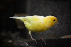 canary (swifty_mcvey) Tags: bird nature yellow freedom flying bright flight perch perched canary neilrobinson