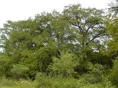 Bosque de Sabinos