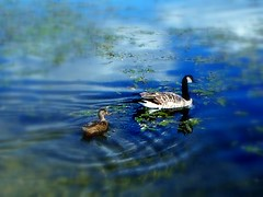 Follow Your Dreams (suesue2) Tags: blue water swim pond michigan ducks romeo specnature abigfave