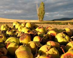Rotten Apples?