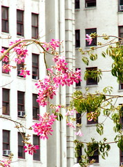 Juxtaposing (carolinecohenour) Tags: california ca pink trees windows urban usa building green architecture america la us losangeles los unitedstates angeles calif urbannature rectangles vinest architecturewhite