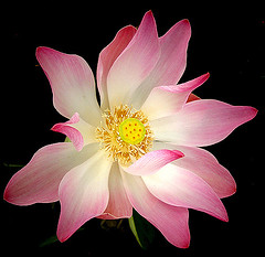 lotus from the top (bhima @ flickr) Tags: flowers macro beautiful canon indonesia interestingness lotus 100v10f powershot september bandung favourite bhima bhiima