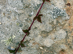 point reyes berry vine garland (fotogail) Tags: berry vine garland pointreyes fotogail brucegrant withgrantbw gail:williams=2006