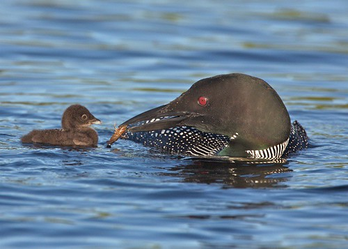 breakfast for loon chick