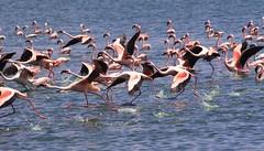 Flamingo Take-off (kai_ross) Tags: pink lake kenya evil flamingos dust popolo cleansweep sensor 30d naivasha popolo2 popolo3 popolo4 popolo5 popolo6 popolo7 popolo8 popolo9 popolo10 votedpopolobythepopolopeople ybpthankspaintmonkey