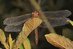 """Common Darter Dragonfly (Sympetrum s(10) • <a style=""""font-size:0.8em;"""" href=""""http://www.flickr.com/photos/57024565@N00/253913471/"""" target=""""_blank"""">View on Flickr</a>"""