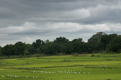 field with birds (Carol Mitchell) Tags: india agriculture chhattisgarh