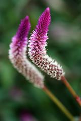 I've Got Your Back (code poet) Tags: flower pink magenta white macro bokeh 100mm lexington kentucky arboretum flowersadminfave topv111 topv333 topv555 topv777 topv999 topv1111 100v10f