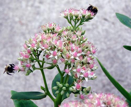 bumblebeesedum5