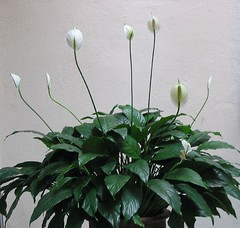 White Flags of Spathiphyllum spp. 'Wallisii'