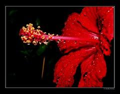Roja Flor de Jardin (Anselmo Herranz) Tags: red espaa flower yellow garden drops spain rojo flor gotas hibiscus segovia jardn pistilos estambres nieva