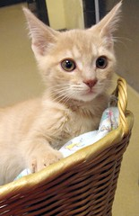 Creamy Tabby Boy Kitten in a Basket (Pixel Packing Mama) Tags: beautiful tag3 taggedout tag2 tag1 lovely1 gorgeous great mycats awww catsandkittensset ilovemycat furryfriday nuggets cutecat v800 artnolimits animalbabies babyanimals exclamationpoints animalfeelings glamourcatmagazine catskittensset catlovers heartlandhumanesociety 50v5f flickrgirls notmycat beautifulcats top20cats catsinbaskets catpix pixelpackingmama meowscollector catssmalltobig dorothydelinaporter favorites10 canonpowershota510a520 worldsfavorite everybodywantstobeacat greatpixgallery10faves beautifuluniverse melfanclub animalswhoneedahome welovelatte cc800 catcloseups tobysgroupies montanathecat~fanclub catcentury beautifulcapture favoritedpixset mostinterestingaccordingtoflickralgorithmset spcacatspool spcacats tag1tag2arealreadyherebutfurtherbackinthelist 10favoritescats cat800 focusonthehead ceruleanthecat~fanclub buffwonderland milofriendscreamorangecatsonly~pleasecomment catsinbasketsset exclamationpointspool pixwithexclamationpointsincommentsset reallyunlimitedpool views1000andupdomesticcatsonlypool uploadedsecondhalfof2006set exclamationpointsincommentsset buffcreamcreamsicleorangetabbytanbeigegingercatsset oversixmillionaggregateviews over430000photostreamviews
