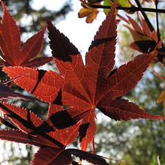 Leaf of Japanese Maple ('George') Tags: canada george japanesemaple pei bloodgood photofans