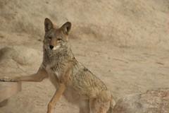 Prrieulv - taget uden zoom! (rikkefriisdam) Tags: california coyote joshuatreenationalpark