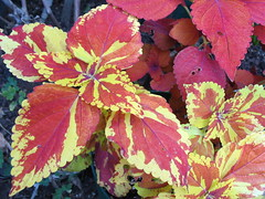 Coleus 'Copper Splash'
