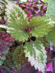 Coleus 'Unknown from Target' (Green/Creme Leaves)