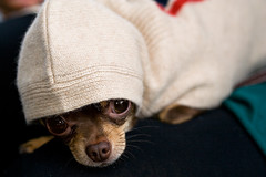 Nutella 2 ('SeraphimC) Tags: california sleeping dog pet chihuahua black cute animal canon puppy delete5 350d death delete2 losangeles hoodie sweater clothing call delete6 delete7 small save3 delete8 canine delete3 save7 save8 delete delete4 save save2 save9 save4 hoody tired rats doggy save5 save10 rebelxt save6 pied piping fleas available plague bubonic pncho byhamlin 4rates