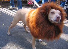 lion-o (istolethetv) Tags: nyc dog eastvillage newyork halloween photo foto image lowereastside snapshot picture halloweencostume photograph pooch  animale  halloweendogs tompkinssquare dogsincostumes flickrexplore dogcostume halloweendogparade explored tompkinssquareparkdogparade newyorkdogs eastvillagedogparade tompkinssquaredogparade decoratedanimal canetravestito caneincostume halloweencostumesfordogs