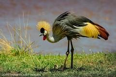 Gray Crowned Crane 0872 (JanisInNV) Tags: africa bird crane wildlife nature colorful graycrownedcrane serengeti