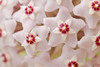 Porcelain flower (Ali Llop) Tags: hoya carnosa porcelain flower unusual closeup blooming bud wax starlet white spring brown seasonal leaf star nectar blossom bloom glow chandelier petals macro season pink stem pistil colorful plant beautiful nature exotic detail scent botany itsalive macromondays