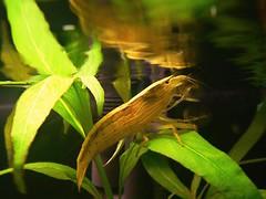 Curiosity kill the cat (GnoKy) Tags: fish acquarium hobby fishtank acquario aquario camarao gambero pastrugni gnoky atyopsismoluccensis