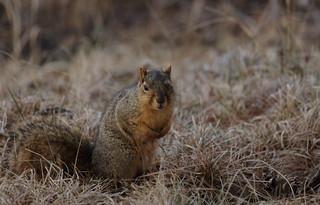 Squirrel, Morton Arboretum. 421 (EOS)