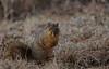 Squirrel, Morton Arboretum. 421 (EOS) (Mega-Magpie) Tags: canon eos 60d nature outdoors the morton arboretum lisle il illinois usa america wildlife squirrel cute