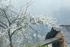 _23G0367. 0218.Phố cáo Hà Giang (HADAOPHOTO) Tags: hoamận canon1dsmarkiii canon100400mmf4556 spring flowerplum