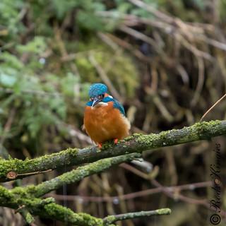 Kingfishers in the rain