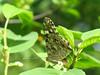 Vanessa cardui - Painted lady - Репейница (Cossus) Tags: 2007 nymphalidae nymphalinae vanessa