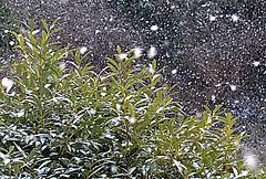 Snowfall on the laurel (Edmund Shaw) Tags: snow snowfall neige schnee nieve laurel hedge winter winterscene