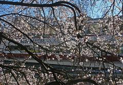 Springtime at the Donaukanal in Vienna (Wolfgang Bazer) Tags: donaukanal springtime spring frühling wien vienna österreich austria blue danube blaue donau baumblüte