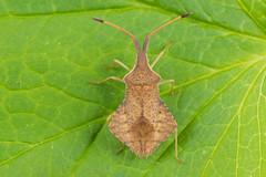 Syromastus rhombeus (NakaRB) Tags: insecta hemiptera coreidae syromastusrhombeus 2015