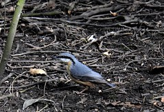 """ Moonmadness "" (hope2029) Tags: nuthatch birds woods blue moody dark day leeds west yorkshire"