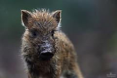 Wild boar piglet (Arron Roberts Photography) Tags: uk forestofdean forest portrait canon muddy mud cute baby hog piglet pig boar wildboar nature wildlife wild