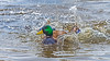 Water Off A Duck's Back (RussellK2013) Tags: duck bird water splash britishcolumbia canada reifelbirdsanctuary reifel delta animal animalplanet animalportrait nationalgeographicwildlife ngc nature nikon nikkor d500 300mmf4epfedvr 300mm prime wildlife wild outdoor mallard anasplatyrhynchos waterfowl