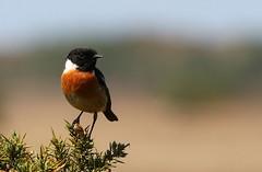 Stonechat (M) - Saxicola torquata - Middlebere Dorset -080517 (30) (ailognom2005) Tags: birds britishbirds britishwildlife stonechat male saxicolatorquata middleberedorset dorsetwildlife